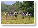 picture of zebra in zimbabwe