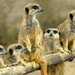 meercats on lookout