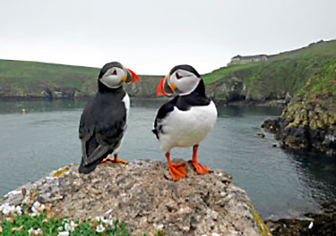 pictures of puffin pair
